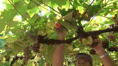 Festa da uva vai até domingo em Mariópolis - O quilo da uva está sendo vendido a R$ 5,00.