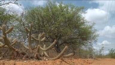 Após cinco anos de seca, apenas 1 em 4 umbuzeiros sobreviveram na Caatinga, diz Embrapa - Depois de cinco anos de seca, até as árvores mais resistentes da Caatinga estão morrendo.