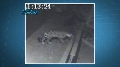 Onça pintada é vista nos arredores do Jóquei Clube, no Guará - Moradores dizem que ela já atacou dois cães. Segundo um morador, a Polícia Ambiental informou que apenas o Zoológico poderia capturar o animal.
