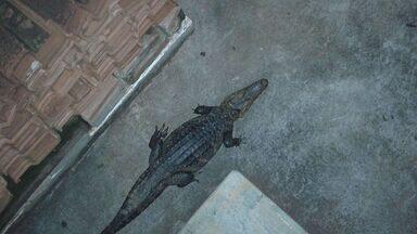 Jacaré é capturado em posto de combustíveis de Guará, SP - Animal foi libertado No Ribeirão do Jardim.