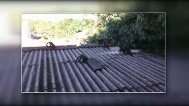 Moradores de Cascavel flagram visita de macacos - Os animais foram vistos em casas que ficam próximas ao lago municipal.