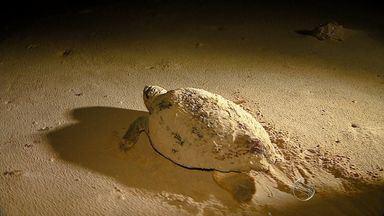 Pesquisadores descobrem que tartarugas preferem as noites escuras com vento para desovar - Pesquisadores descobrem que tartarugas preferem as noites escuras com vento para desovar.