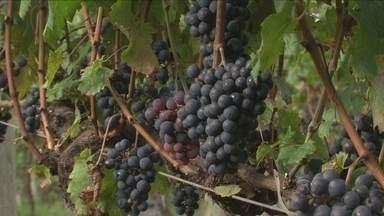 Excesso de chuva e frio prejudicam safra nas vinícolas de altitude em Santa Catarina - Excesso de chuva e frio prejudicam safra nas vinícolas de altitude em Santa Catarina