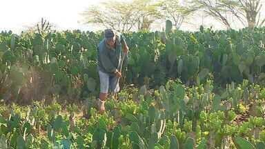 Sertanejos comemoram alívio da seca e boa fase para plantação em Sergipe - Sertanejos comemoram alívio da seca e boa fase para plantação em Sergipe