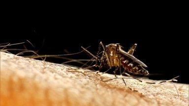 Infectologista explica como o Aedes aegypti mudou - O Aedes aegypti mudou. Há 30 anos acontecem várias epidemias de dengue. Nesse período, o mosquito aperfeiçoou a sua estruturação biológica para se adaptar às condições.