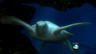 Filhote raro e branco de tartaruga marinha pode ser visto no Oceanário - Filhote raro e branco de tartaruga marinha pode ser visto no Oceanário.