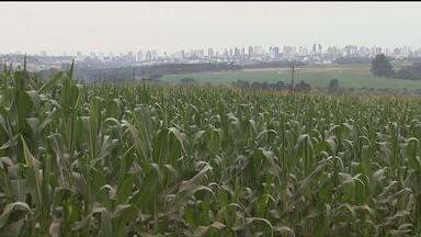 Expectativas para a safra de milho deste ano são boas - Esse é um dos destaques do Caminhos do Campo do domingo