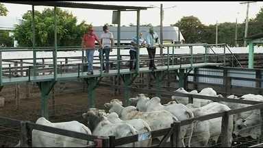 Expopec traz produção de gado de corte do norte de Goiás - Região é destaque na produção de bezerros de qualidade.