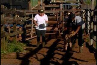 Trabalhadores participam de curso de vaqueiro em Araxá - Qualificação garante emprego para quem quer atuar no setor. Curso é oferecido em parceria com Sindicato Rural e Senar.