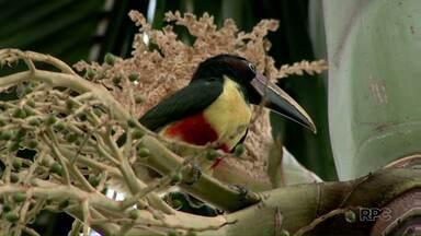 Um flagrante mostra um filhote de Araçari Castanho, tranquilo, se alimentando - A imagem foi feita na Avenida Pedro Bassi, em Foz do Iguaçu. Com fome, o pássaro se alimenta com as sementes. De acordo com os biólogos, é comum observar essas aves na área urbana.
