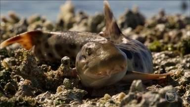 Rei dos Mares: conheça tubarão que 'anda' e consegue ficar na superfície - No terceiro episódio da série, descubra algumas habilidades de espécies como o tubarão-raposa, tubarão-martelo e o curioso tubarão-bambu-ocelado.