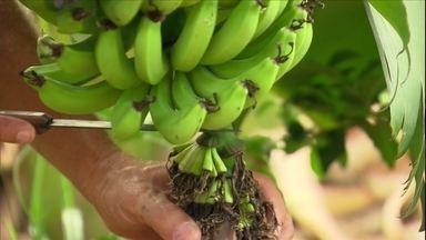 Especialista dá orientações sobre o cultivo de banana - O agricultor Adelmo Cabral explicou o momento certo de cortar o umbigo da planta e de retirar o cacho do pé.