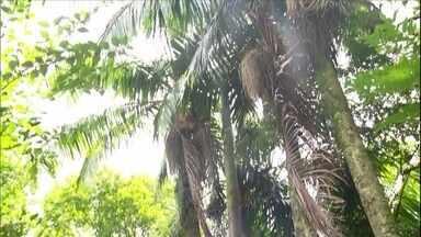 Agrônoma responde a dúvida sobre cultivo de palmeira-real em regiões frias - Muitas pessoas estão plantando palmeira-real para extração de palmito no Sul do país. A agrônoma Valéria Garcia responde à dúvida do Humberto Lermen, que pergunta se esse tipo de palmeira resiste à geada.