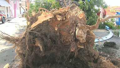 Semap estuda parceria com Ufopa para melhor acompanhamento da saúde dos vegetais - Queda de uma mangueira levanta o debate sobre a necessidade de uma maior atenção às árvores nos espaços públicos municipais.