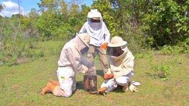 Veja como é feita a coleta do mel na região pantaneira, em Poconé - Veja como é feita a coleta do mel na região pantaneira, em Poconé