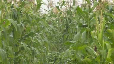 Com poucas chuvas, veja como está a plantação de milho na Região de Campina Grande - Teve agricultor que plantou na véspera de São José para ter uma boa colheita.