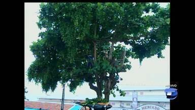 Semap realiza poda de árvores na área central de Santarém - Projeto de replantio de árvores também está sendo realizado para substituir as árvores que foram retiradas da área central.