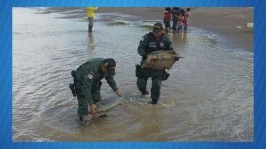 Polícia apreende quelônios durante operação no AM - Cerca de 800 tartarugas e tracajás foram apreendidas.