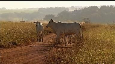 Próxima do fim, campanha contra febre aftosa visa imunizar 100% do rebanho de Goiás - O estado possui atualmente 21 milhões de animais.