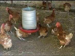 Redução de 50% na produção de milho reflete nos criadouros de frango do Tocantins - Redução de 50% na produção de milho reflete nos criadouros de frango do Tocantins