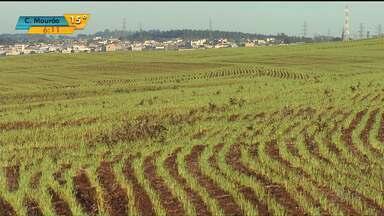 Produção de trigo vai cair esse ano no Paraná - Produtores plantaram 59% da área do ano passado
