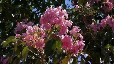 Florada dos ipês é antecipada em Tangará da Serra - Florada dos ipês é antecipada em Tangará da Serra.