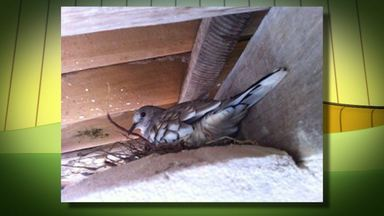 Pela terceira vez, pássaro cria ninho entre coluna e telhado de casa em Massarandupió - A ave é conhecida como 'Rolinha Fogo Pagou'.