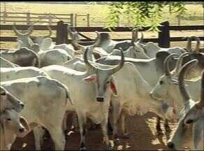 Produtores investem no cruzamento de raças bovinas para aumentar a produtividade no TO - Produtores investem no cruzamento de raças bovinas para aumentar a produtividade no TO