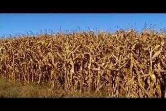 Falta de chuva prejudica lavouras no Triângulo Mineiro - Média dos últimos dois meses ficou abaixo do esperado, prejudicando as plantações de milho e sorgo.