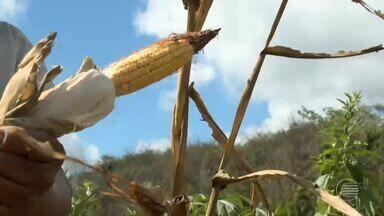 Falta de chuva faz safra do milho se perder em Nazária, no Piauí - Falta de chuva faz safra do milho se perder em Nazária, no Piauí