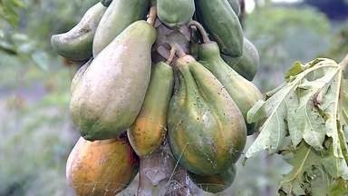 Aumento no preço do mamão tem preocupado donas de casa no noroeste paulista - Para quem não dispensa o mamão no dia a dia, já sentiu no bolso o preço da fruta. No mercado municipal de Rio Preto, o quilo do mamão papaya está entre R$ 10 e R$ 12.