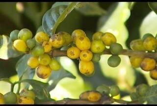 Geada atinge cafezais e traz prejuízos a produtores em Muzambinho - Em uma propriedade, 15 mil pés foram atingidos pelo frio de -2º C.