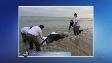 Giro de notícias: baleia é encontrada morta em praia de São Francisco do Sul - Giro de notícias: baleia é encontrada morta em praia de São Francisco do Sul