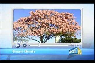 Telespectadores de Uberaba registram imagens de tamanduá e ipê rosa - Participação ocorreu no quadro VC no MGTV desta segunda-feira (4). Florada foi registrada no Bairro Girassol; Animal foi filmado próximo a shopping na Univerdecidade.
