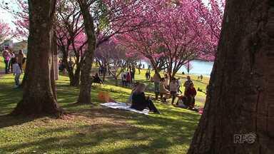 Florada das cerejeiras no Parque do Lago encanta visitantes em Guarapuava - A florada dura poucos dias, por isso moradores e turistas se apressam para a visita. Domingo foi movimentado no Lago.