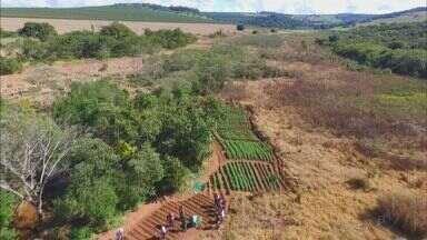 Polícia ainda procura os responsáveis por plantação com 25 mil pés de maconha em Franca - Suspeita é de que sementes da planta foram compradas pela internet.