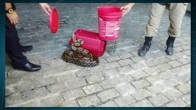 Duas cobras são resgatadas pela Guarda Municipal, no Rio - A Guarda Municipal resgatou duas cobras no Rio de Janeiro: na Gávea, uma jiboia de 2 metros foi encontrado em uma casa; outra cobra de 1 metro foi encontrada machucada na Prainha. Segundo a GM, ambas haviam sofrido maus tratos.