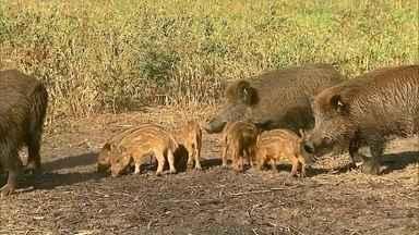 Javalis selvagens são alvo de caçadas cruéis - Depois de três anos em vigor, a autorização para caçada de javalis selvagens está sendo reavaliada pelo Ibama em conjunto com o Ministério da Agricultura.