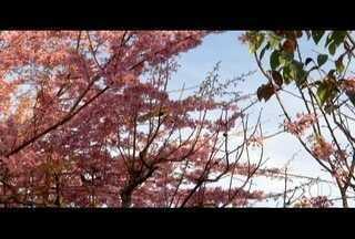Festa da Cerejeira acontece neste fim de semana em Nova Friburgo, no RJ - Festa é promovida po colônia japonesa.