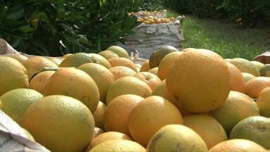 Cai a área de cultivo da laranja no Paraná - Mas o preço da fruta sobe e anima os produtores