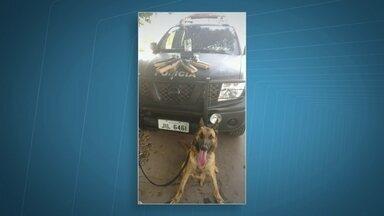 Cachorro da polícia ajuda a encontrar 5 kg de maconha em Samambaia - Conhecido como especialista em armas e drogas, Colt encontrou vários pacotes da droga que estavam escondidos embaixo da terra.