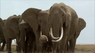 Minha família é o bicho: vovós elefantas - Uma super vovó comanda a manada pra salvar o netinho.