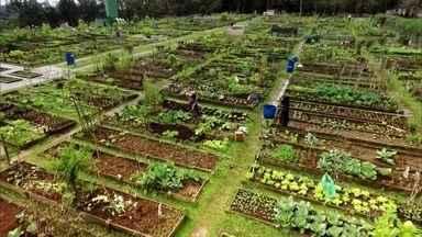 Clube da horta: sócios dispensam piscinas e passam dia plantando - Horta comunitária num clube de campo na região metropolitana de Curitiba atrai legião de associados. Eles dividem os 433 canteiros.
