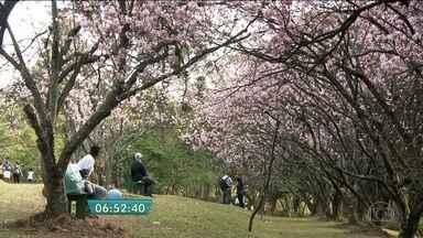 Florada antecipada das cerejeiras enfeita a Festa do Hanamí em parque da Zona Leste de SP - As árvores do Bosque de Cerejeiras do Parque do Carmo floresceram antecipadamente e dão um show na comemoração japonesa. O espetáculo de galhos em flor encanta as pessoas que passeiam pelo bosque.