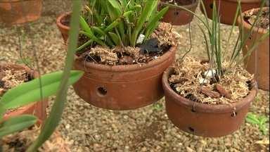 Evite o ressecamento das orquídeas fazendo o uso correto dos substratos - A casca de pinus é um excelente substrato para o cultivo de orquídeas, mas se usado puro, pode ressecar as raízes e até mesmo as plantas. Veja o que fazer para evitar o problema.