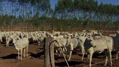 Número de animais confinados em MT cai 32% - A queda está relacionada com o primeiro levantamento do ano, feito em abril. O principal motivo é o alto custo da alimentação do gado.