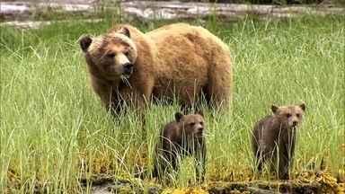 Equipe do Globo Repórter fica diante da mais perigosa espécie de urso - Urso grizzly chega a 2,5 metros de altura em pé e pode pesar 400 quilos. Equipe localizou os ursos na Colúmbia Britânica, no Canadá.
