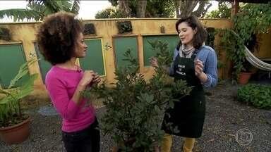 Folhas de louro podem ser cultivadas dentro de casa ou no jardim - Existem muitos temperos que podemos cultivar dentro de casa. Um exemplo é o louro, que dá um sabor especial, ajuda na digestão e, quando cresce, vira uma decoração bem bonita.
