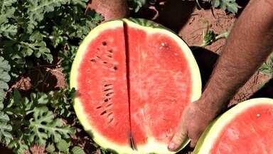 É época de safra de melancia na região - Quando chega a hora de colher as melancias, o ritmo não pode parar. Evandro Atílio Camilo contratou 10 trabalhadores para colher 45 toneladas da fruta até o fim da safra em Echaporã (SP).
