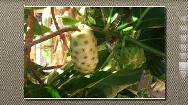 Agrônomo identifica variedade de fruto pouco conhecida - Morinda ou noni é da mesma família do café. Tem gosto e cheiro ruim, mas tem gente que consome.